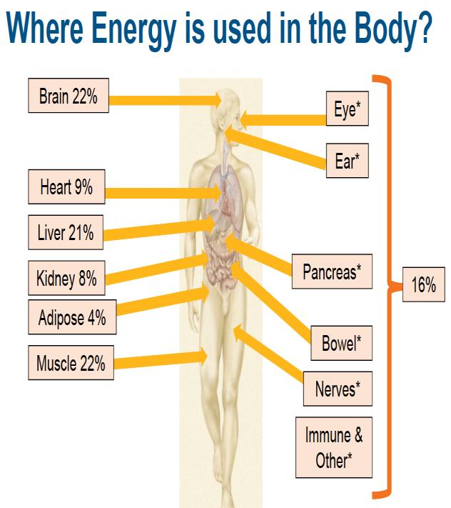 diagram showing what parts of the body use the most energy